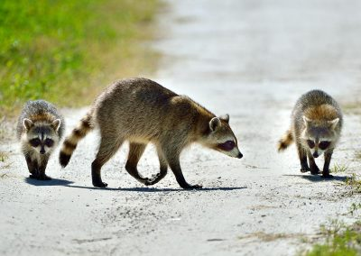 Mapache/ raccoon, Florida, Spain.