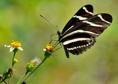 Mariposa / butterfly, Florida, USA.