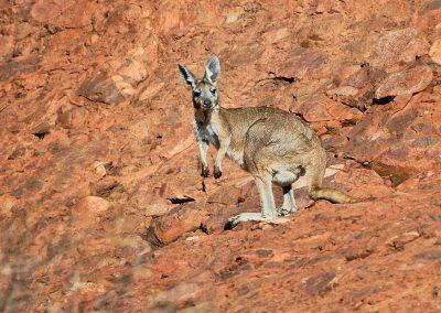Walabi, Olgas mountains, Australia.
