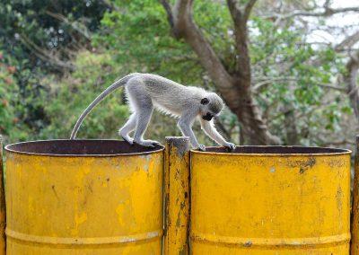 Mono / monkey, South Africa.