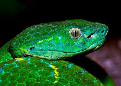 Serpiente, snake, Monte Verde, Costa Rica.