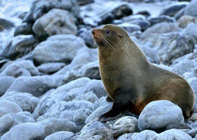 Lobo marino / Lion sea, New Zealand.