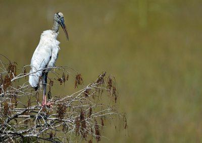 Cigüeña, stork, Florida, USA.
