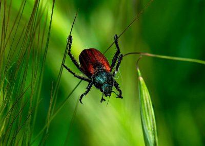 Escarabajo / beetle, Zarzalejo, Spain.
