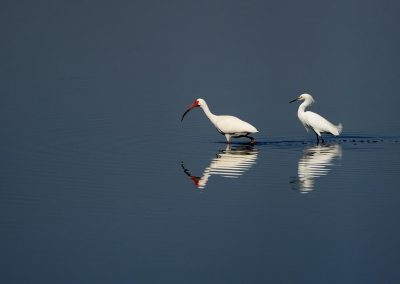 Ibis blanco y garza / White Ibis and white heron, Florida, USA.