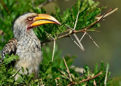 Calao pico rojo, red-billed hornbill, South Africa.