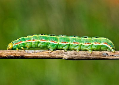 Oruga / caterpillar, Oropesa, Spain.