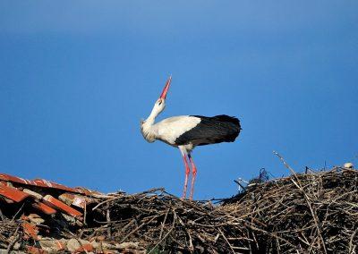 Cigüeña blanca / white stork, Spain.
