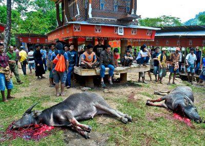 Sacrificio ritual Toraja, Swlavesi, Indonesia