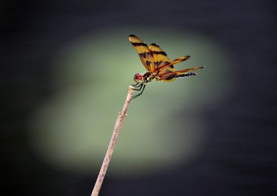 Libelula / dragon-fly, Florida, USA.