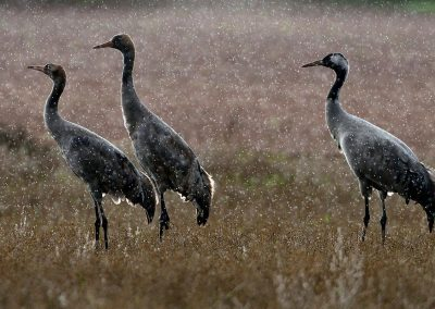 Grulla, crane, Gallocanta, Spain.