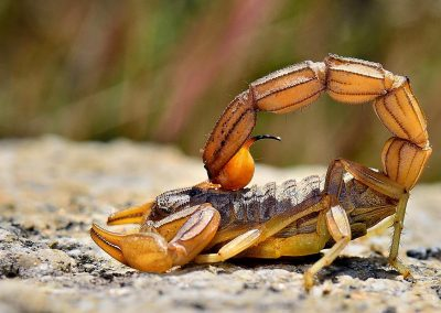 Escorpion / scorpion, Extremadura, Spain.