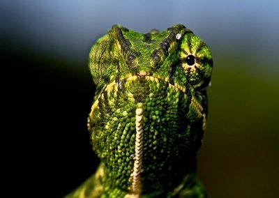 Camaleón / chameleon, Andalucía, Spain.
