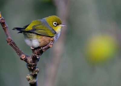 Ojoplateado, Silvereye, New Zealand.
