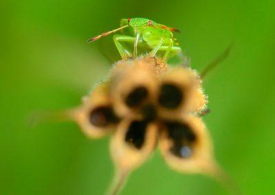 Chinche / bug, Galicia, Spain.