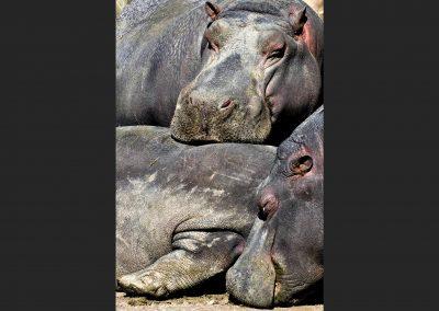 Hipopótamo / hippopotamus, Etosha Park, Namibia.