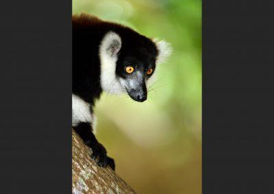 Lemur de collar / Black and white ruffed lemur, Andasibe, Madagascar