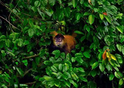 Mono araña / spider monkey, Costa Rica