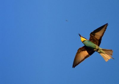 Abejaruco, bee-eater, Spain.