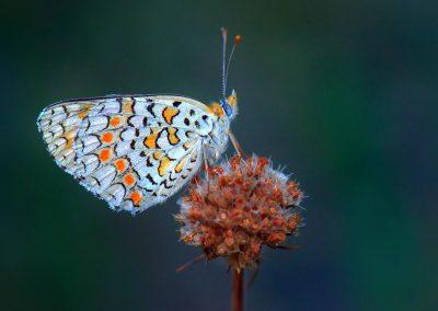 Mariposa, butterfly, Miraflores, Spain.