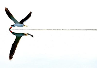 Rayador, Black skimmer, Florida, USA.