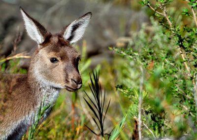Canguro gris / grey kangaroo, Australia.