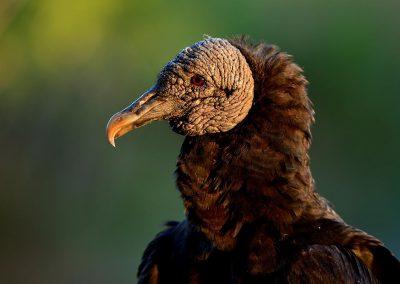 Buitre negro, black vulture, Florida, USA.