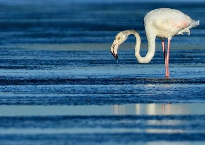 Flamenco / flamingo, South Africa.