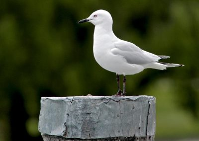Gaviota / seagull, New Zealand.