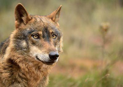 Lobo ibérico / iberian wolf, Spain.