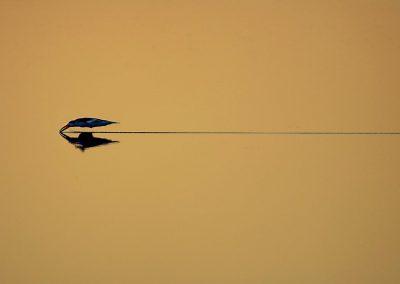 Rayador, Black skimmer, Florida, USA.