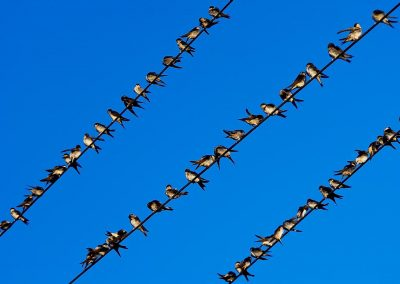 Golondrina / swalow, Zamora, Spain.