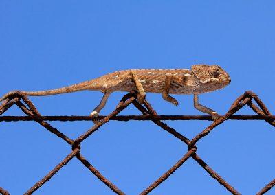 Camaleon / chameleo, Andalucia, Spain.