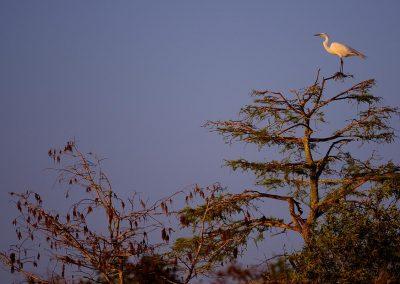 Garza blanca, white heron, Florida, USA.