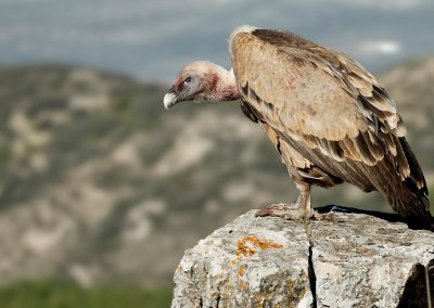 Buitre leonado, griffon vulture, Sierra Cazorla, Spain.