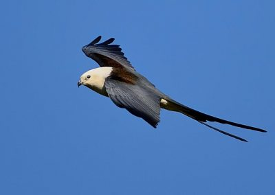 Golondrina cola de cometa, swalow tailed kite, Florida, Spain.