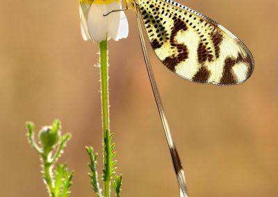 Neuroptera, Valdemorillo, Spain.