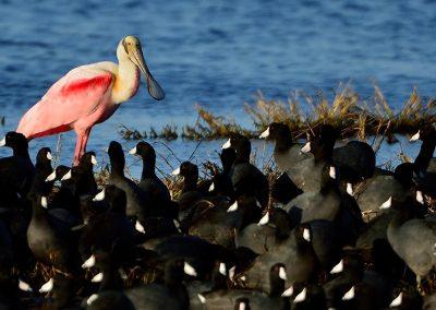 Espatula rosada y focha, Roseate Spoonbill and coot, Florida, USA.