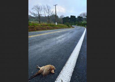 Faisan / pheasant, Victoria, Australia.