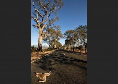 Canguro / cangaroo, Northern Territory, Australia.