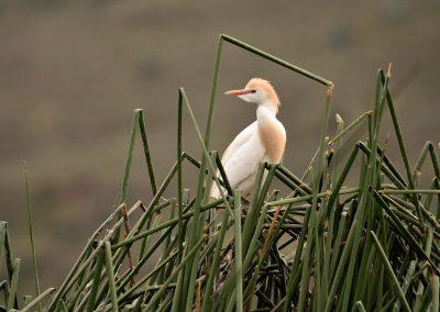 Garcilla bueyera, Ecuador.