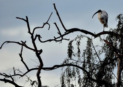 Ibis, Australia.