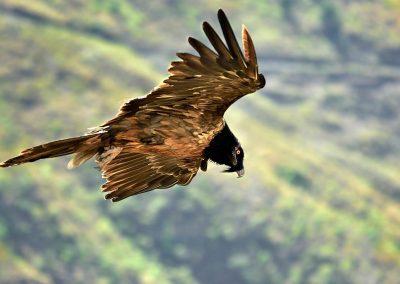 Quebratahuesos, bearded vulture, Lalibela, Ethiopia.