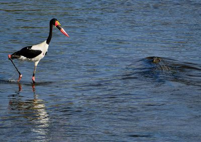 Jabirú,  Saddle-billed Stork, South Africa.