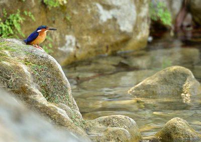 Martin pescador, kingfisher, Madagascar.
