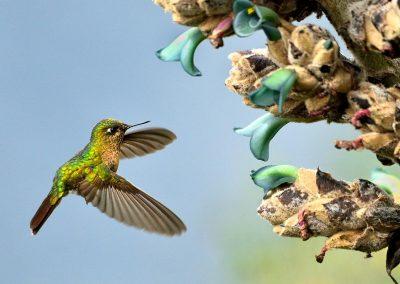 Colibrí / humming bird, Ecuador.
