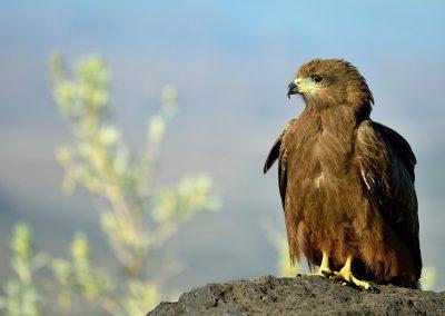 Aguila Rapax / rapax eagle, Ethiopia.