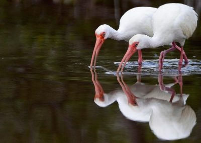 Ibis blanco / white ibis, Florida.
