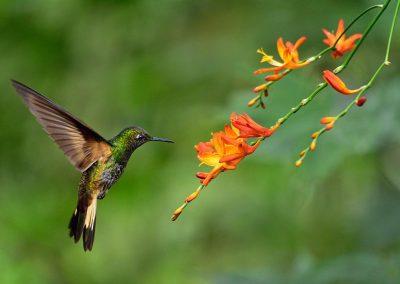 Colibrí / humming bird, Mingo, Ecuador.