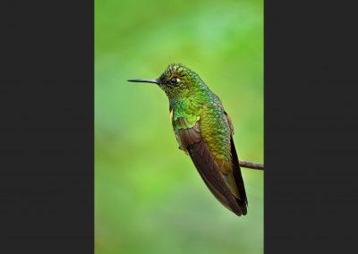 Colibrí, humming bird, Ecuador.